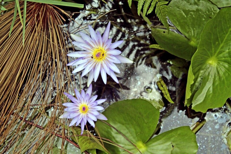 Seerosenblüte im Bigodi-Sumpf