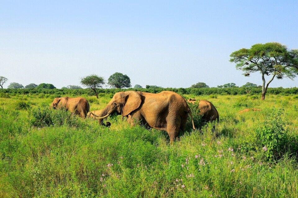 Elefanten im Gras