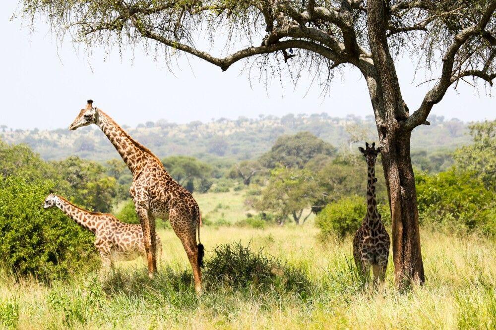 Eine Herde Giraffen im Schatten