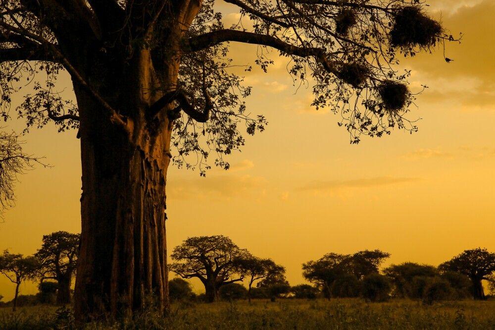 Baobabs im Abendlicht