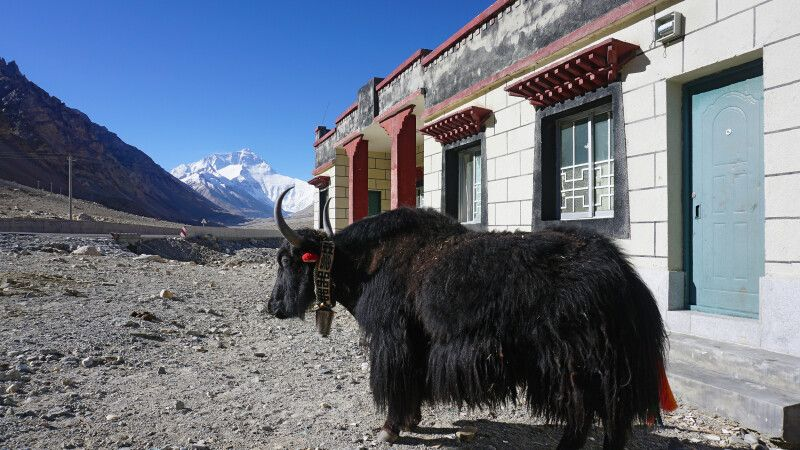 Yak in Rongbuk am Mount Everest © Diamir