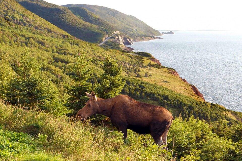Elch am Cabot Trail  im Cape-Breton-Highlands-NP