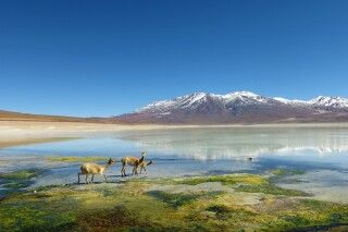 Vicuñas an einer Lagune