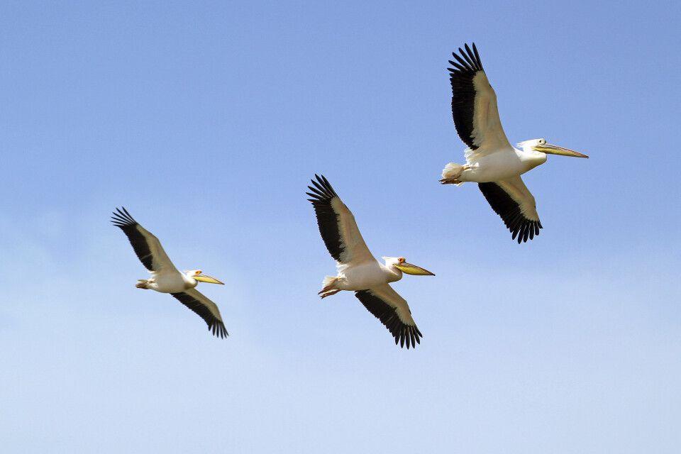 Pelikane im Djoudj Nationalpark