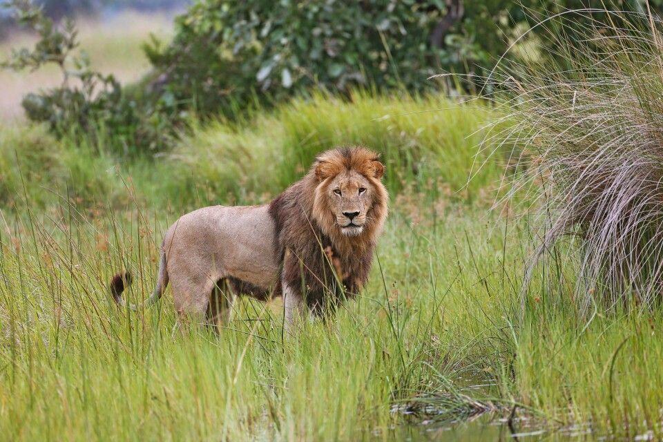 Löwe im Okavango-Delta