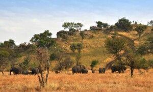 Elefanten im Busch beim Grumeti Hills