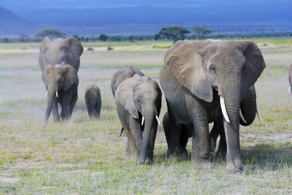 Elefantenherde im Amboselil Nationalpark