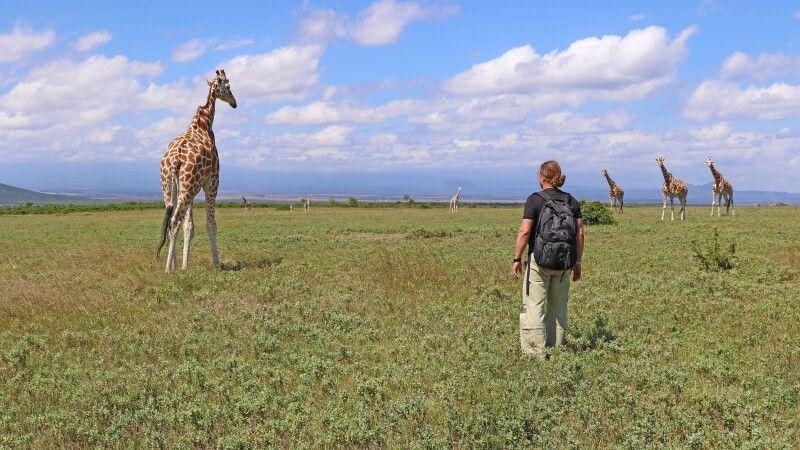 Giraffenwanderung beim Aberdare Nationalpark © Diamir