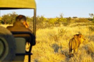 Löwen Begegnung auf einer Pirschfahrt