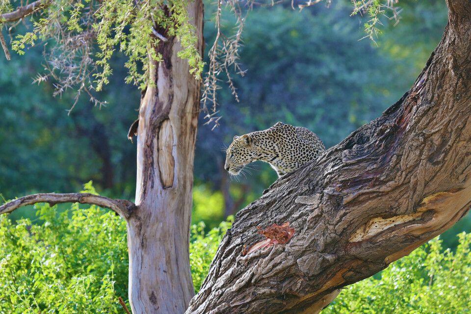 Ein Leopard im Samburu Reservat