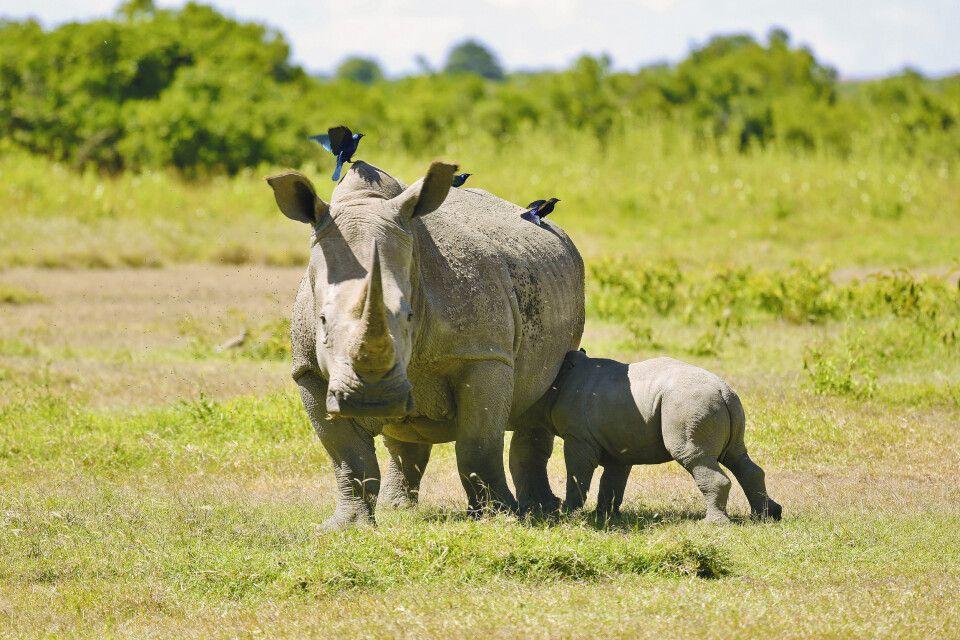 Nashornmutter und ihr Junges