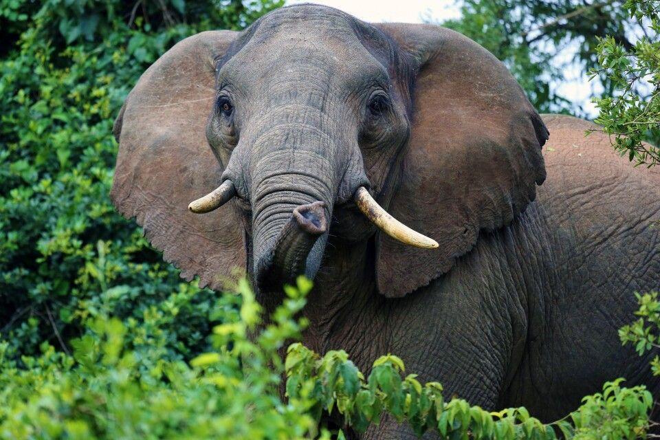 Waldelefant im Aberdare Nationalpark