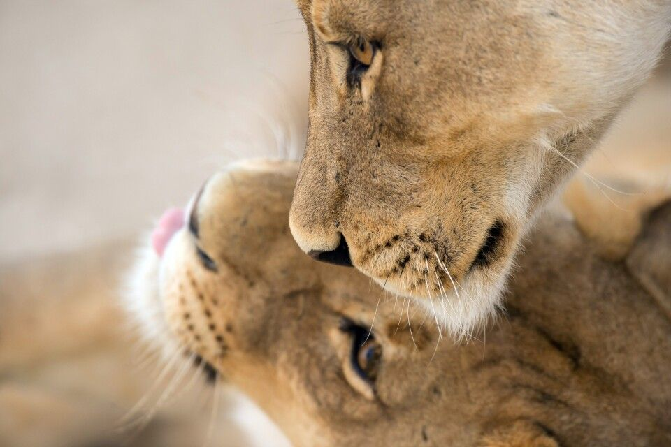 Löwen im Krüger-Nationalpark