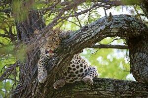 Ein exzellenter Safarifahrer ist die halbe Miete, ein gutes Teleobjektiv die andere Hälfte. Wenn der Leopard im Wirrwarr der Äste dann doch gefunden ist, ist es eine Frage des richtigen Blickwinkels und der richtigen Brennweite, um ein packendes Bild erzeugen zu können. Oft sind hohe ISO-Werte erforderlich, da das begrenzt verfügbare Licht Herausforderungen stellt…