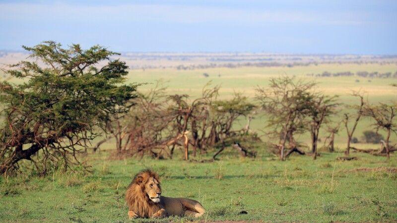 Manchmal sieht Fotografieren so leicht aus. Doch das passende Morgenlicht und der richtige Blick, die richtige Distanz (zum Auto mit dem Fotografen) und die richtige Blickrichtung des Löwen… müssen alle zusammen stimmen. Im gleichen Moment. Auf Fotorei © Diamir