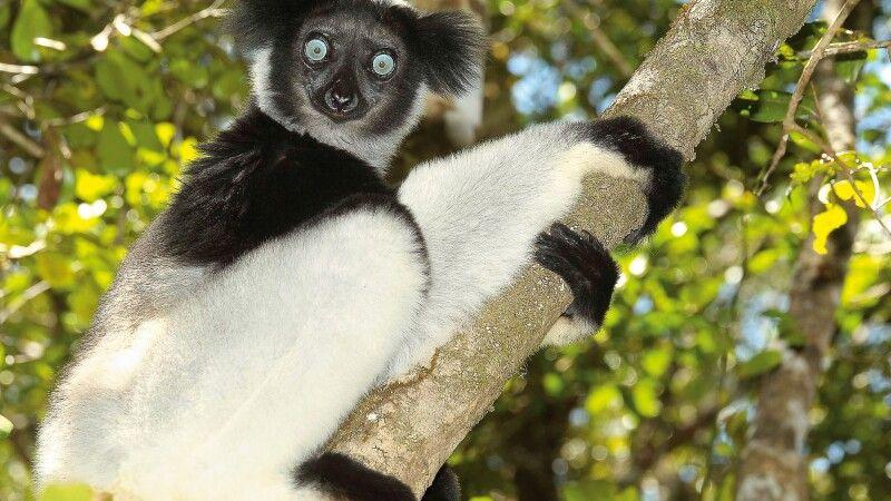 Indri Indri © Diamir