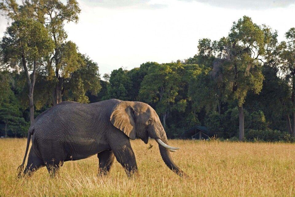 Ein Elefant vor dem Governors Camp