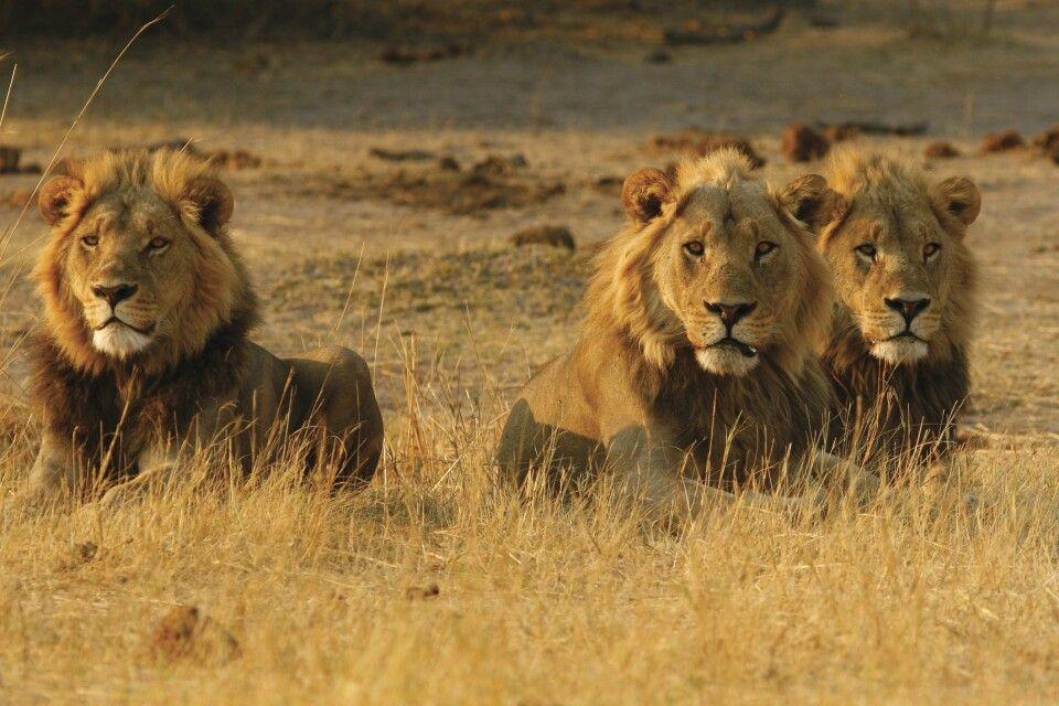 Löwen im Chobe-Nationalpark