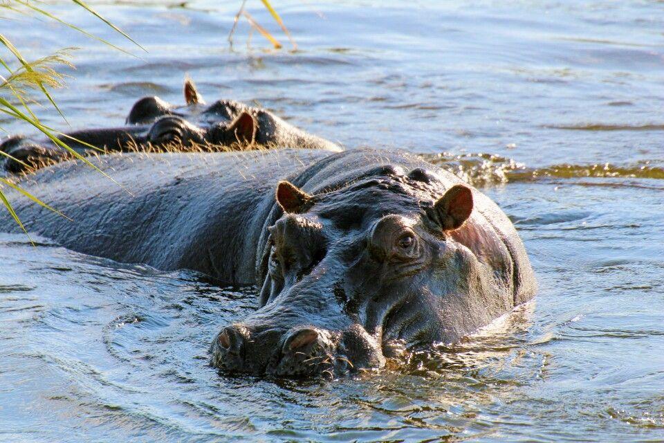 Der Wasserreichtum im Caprivi-Streifen zeigt viele Flusspferde