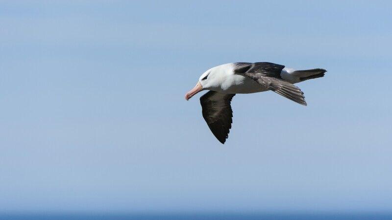 Schwarzbrauenalbatros im Flug © Diamir