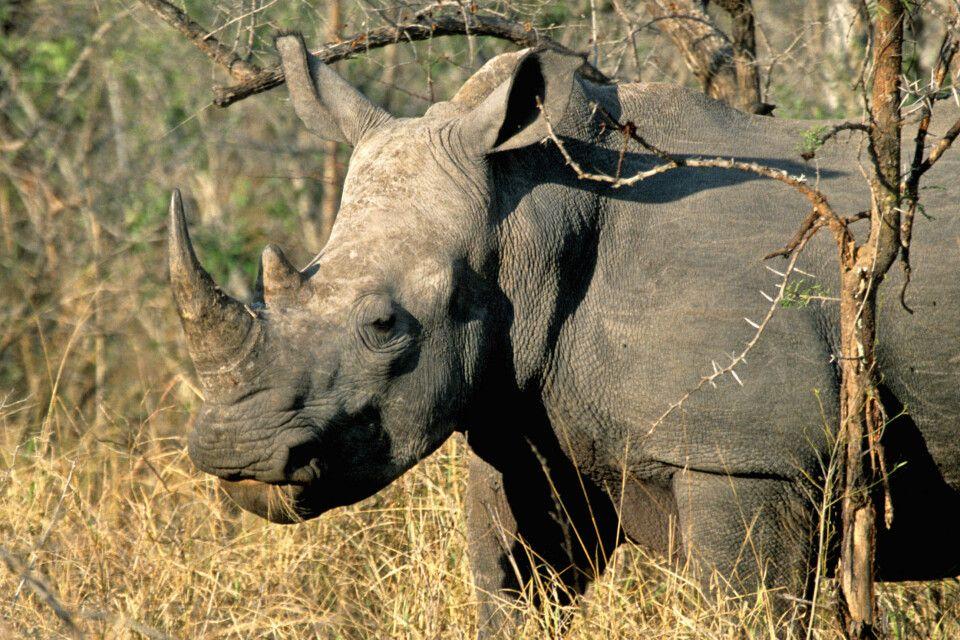 Nashorn  im Krüger-Nationalpark