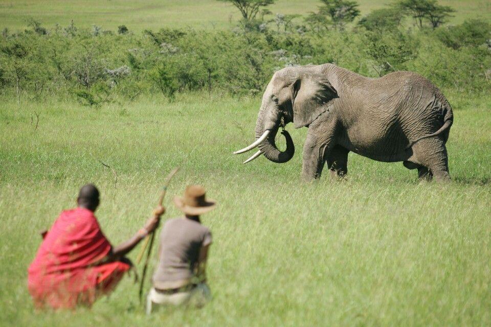 Ein Elefant bei einer Buschwanderung durch die Mara Naboisho Conservancy