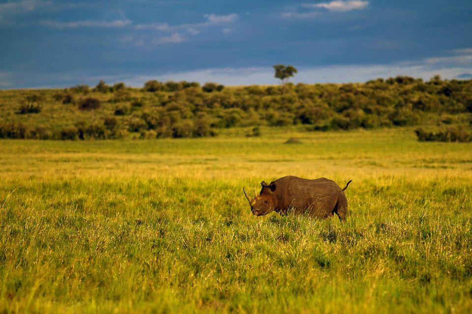 Ein Nashorn in der Masai mara