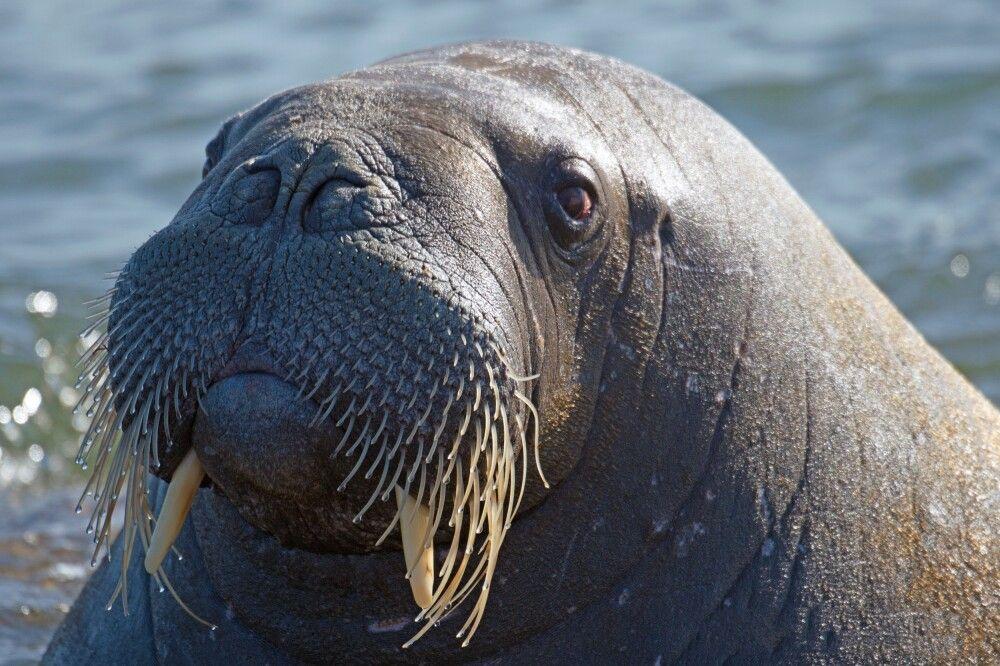 Porträt eines Walrosses