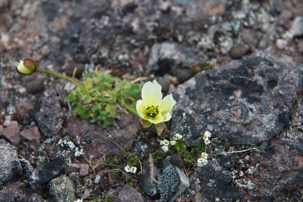 Die zarte Blüte des Svalbard-Mohn