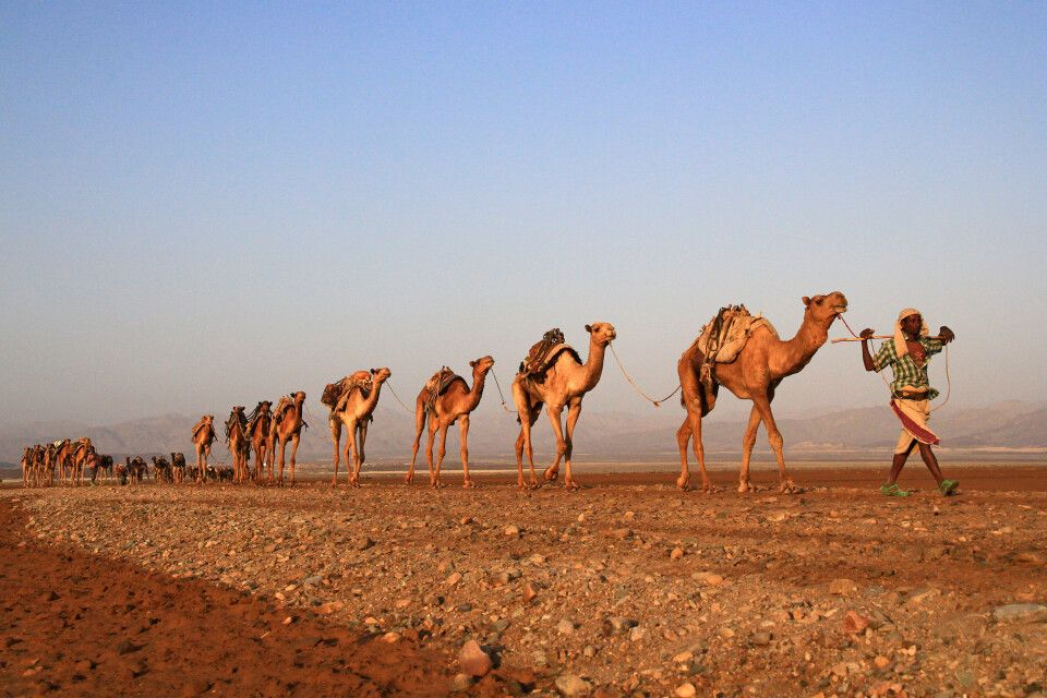 Salzkarawane in der Danakil-Wüste