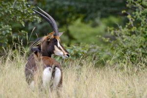 Rappenantilope im Kuti-Wildreservat