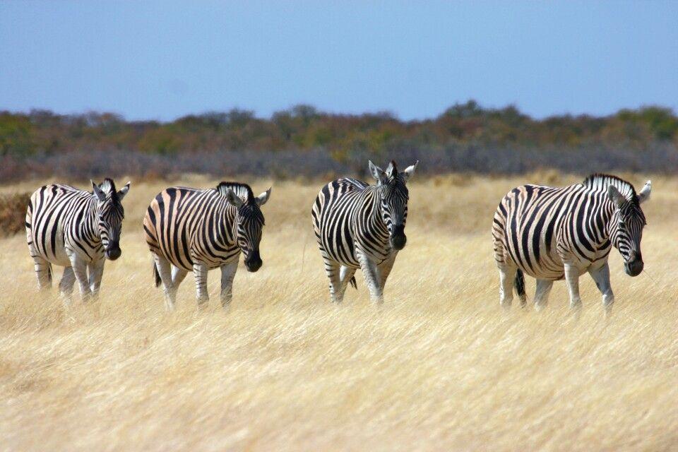 Zebras im Etosha-Nationalpark
