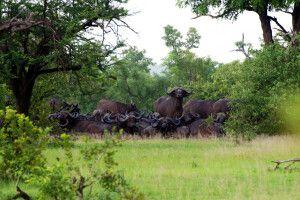 Eine Herde Büffel im Busch