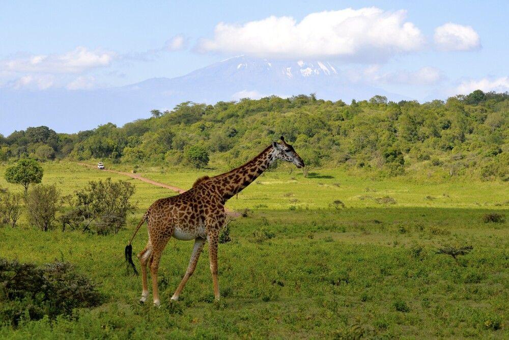 Giraffe vor dem Kilimanjaro