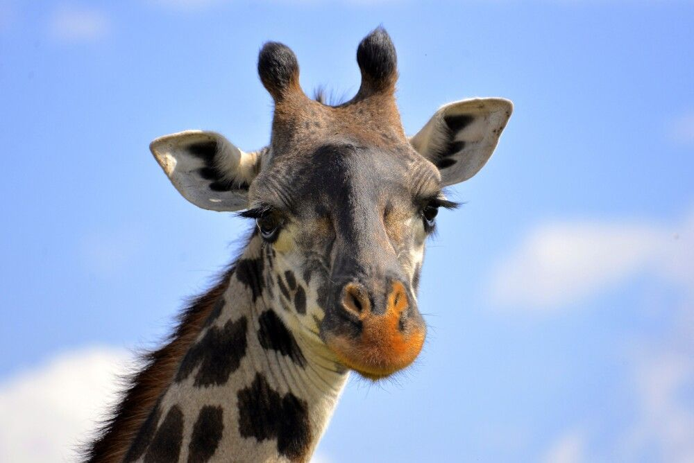 Die Giraffe schaut neugierig in die Kamera