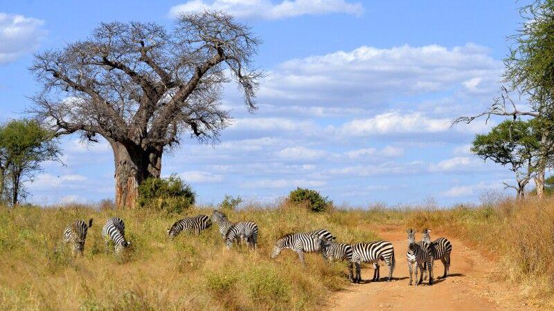 Zebras neben einem Baobab-Baum © Diamir