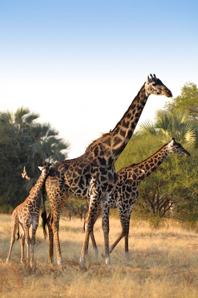 Giraffenfamilie im Abendlicht