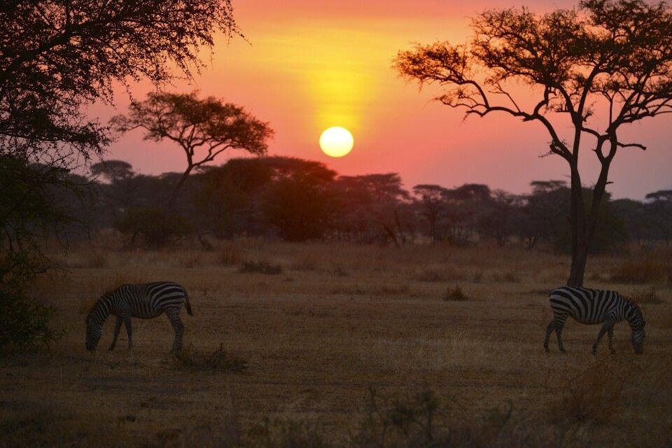 Zebras grasen im Sonnenaufgang