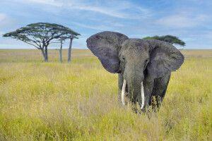 Elefantenbulle mit prächtigen Stoßzähnen