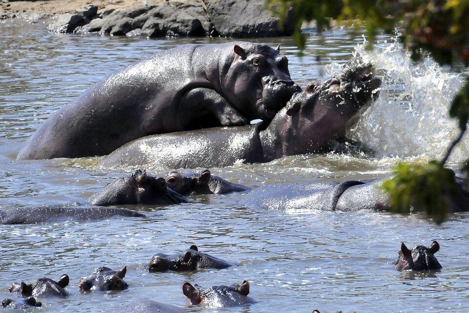 Flusspferde bei der Paarung