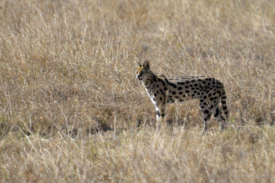 Servalkatze