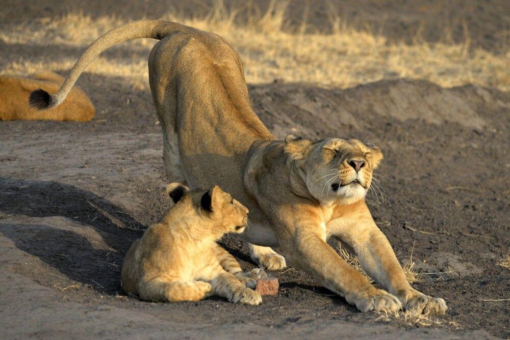 Löwenweibchen mit Nachwuchs