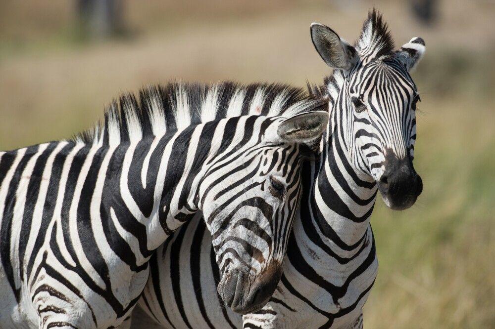 Zebras im Okavango-Delta