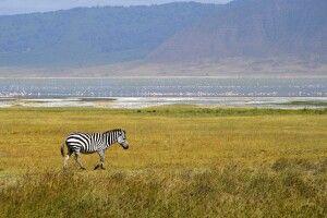 Ein Zebra am Kratersee im Ngorongoro-Schutzgebiet