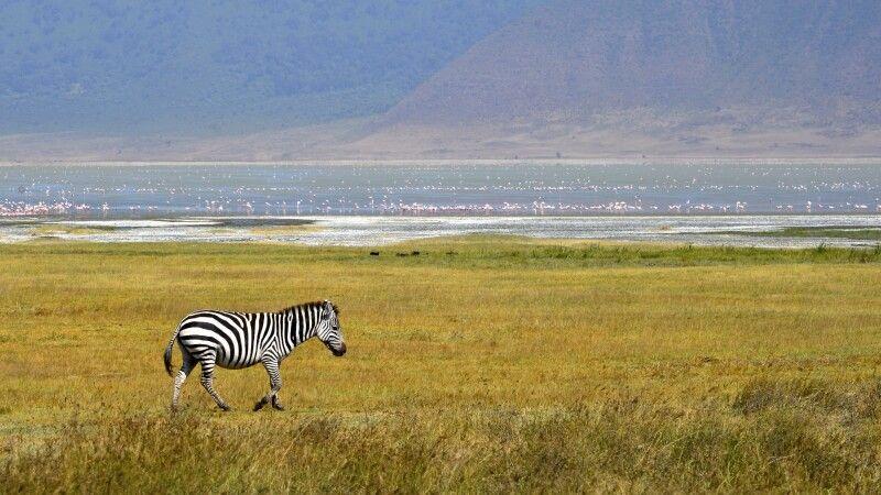 Ein Zebra am Kratersee im Ngorongoro-Schutzgebiet © Diamir