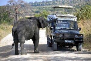 Ein neugieriger Elefant untersucht das Safarifahrzeug