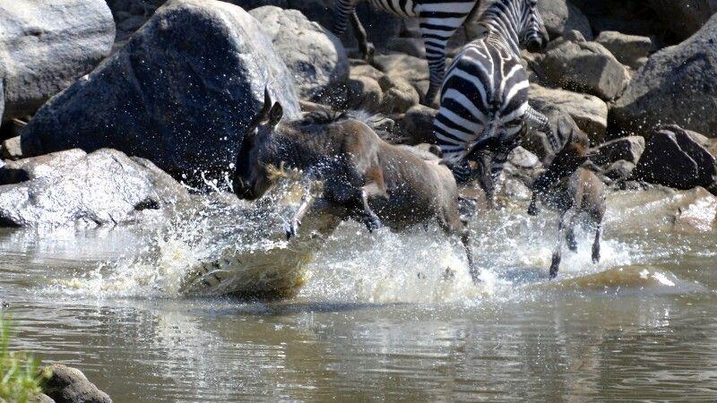 Das Gnu wird bei der Flussüberquerung von einem Krokodil angegriffen © Diamir