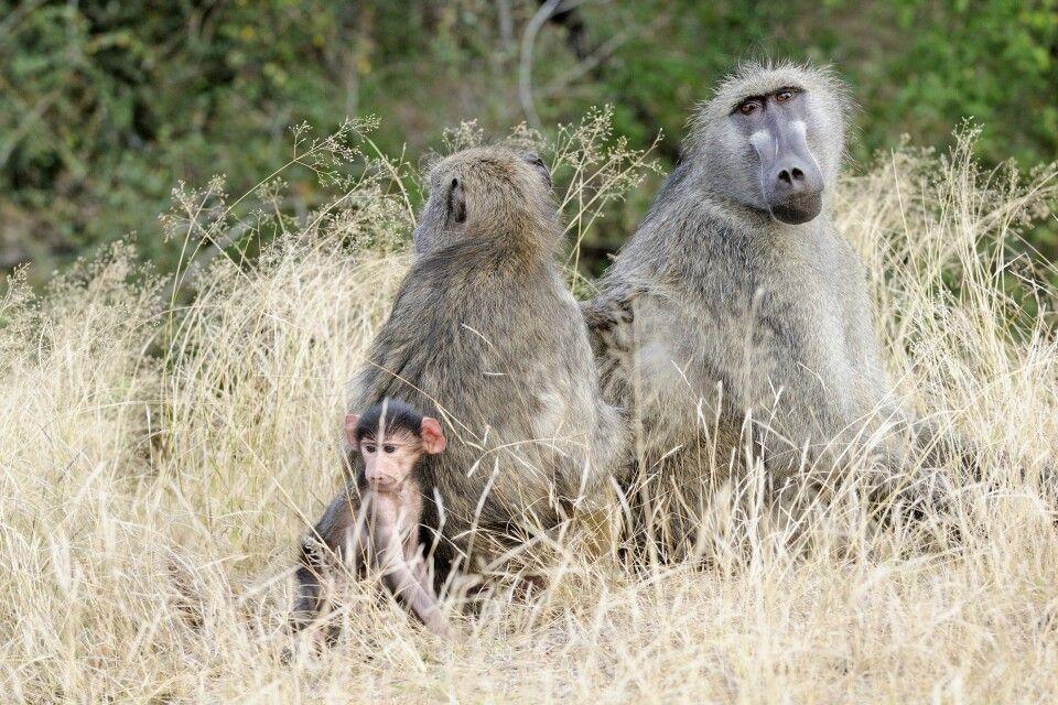 Pavian-Familie, Krüger-Nationalpark, Südafrika