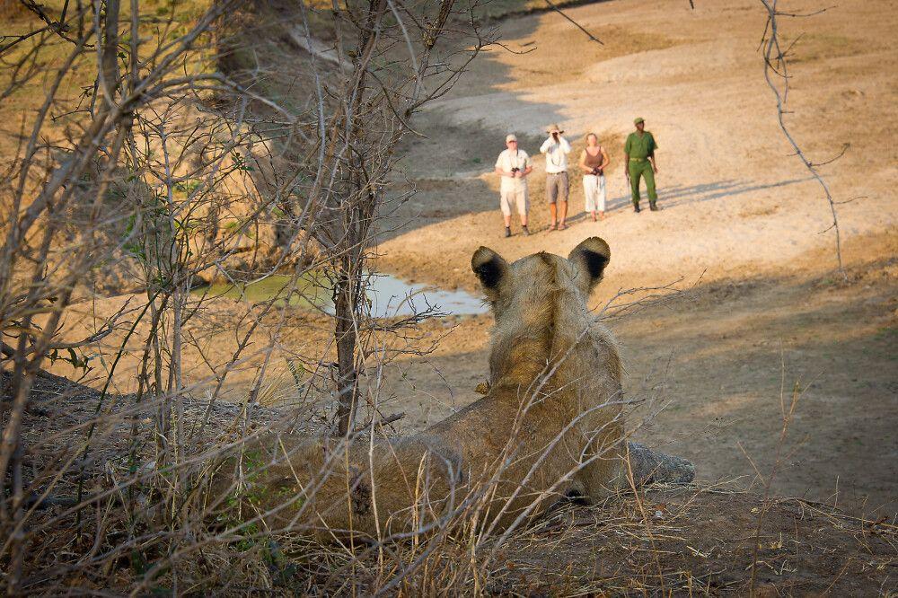 Löwe und Fußsafariattendanten