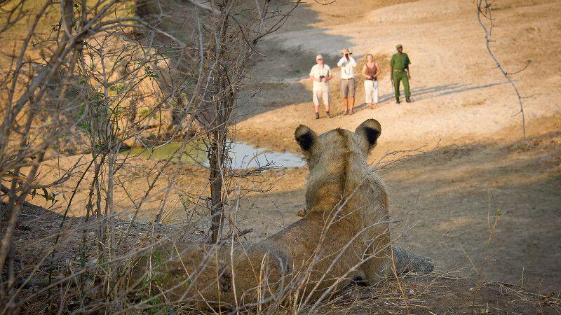 Löwe und Fußsafariattendanten © Diamir